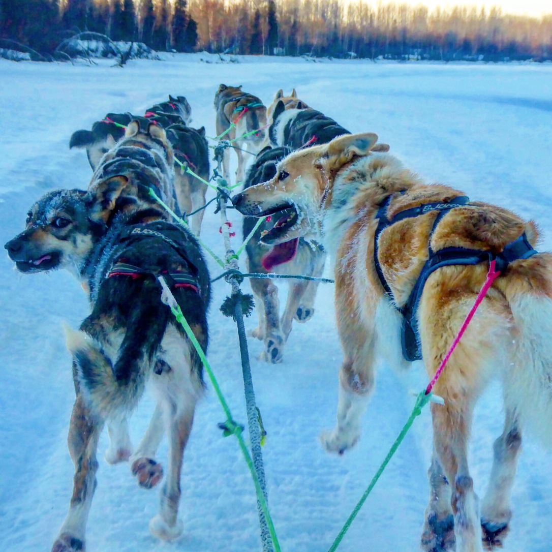 Sun Dog Kennel sled dogs in Talkeetna, AK